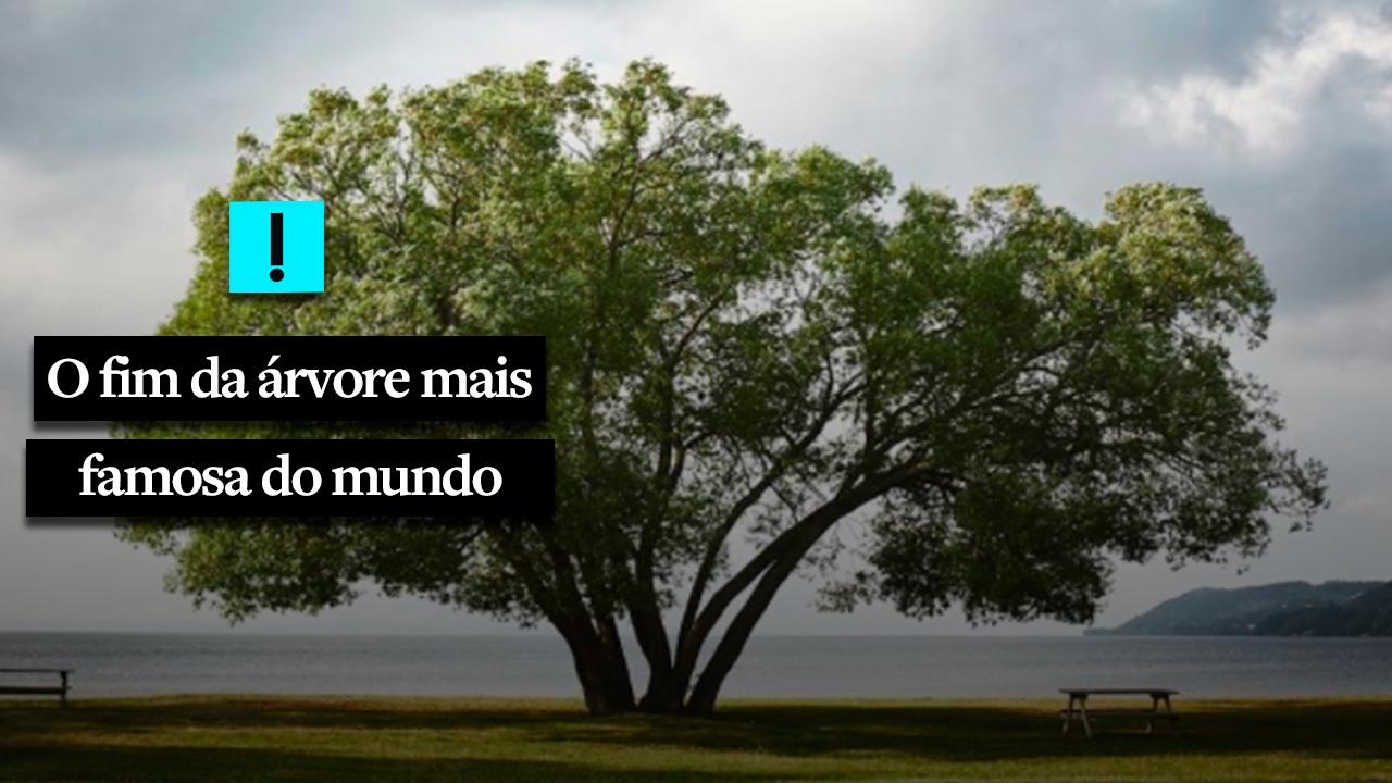 IMAGEM: O fim da árvore mais famosa do mundo