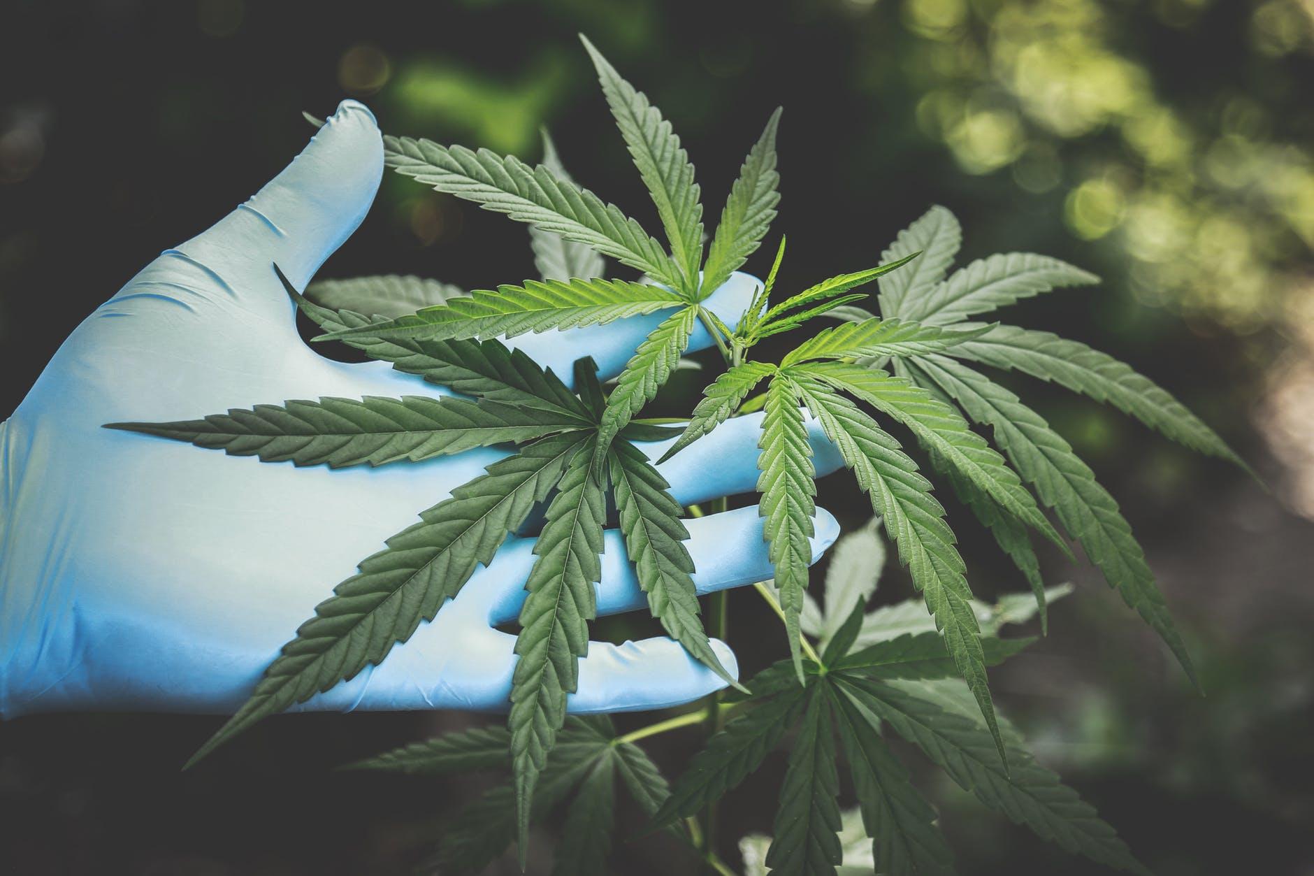 IMAGEM: Ibaneis assina lei de incentivo a pesquisas com Cannabis medicinal